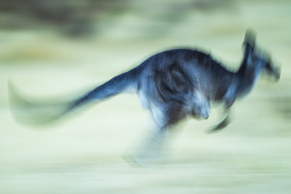A grey kangaroo bounces past.