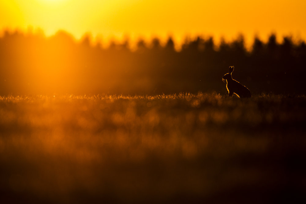 A brown hare at sunset.