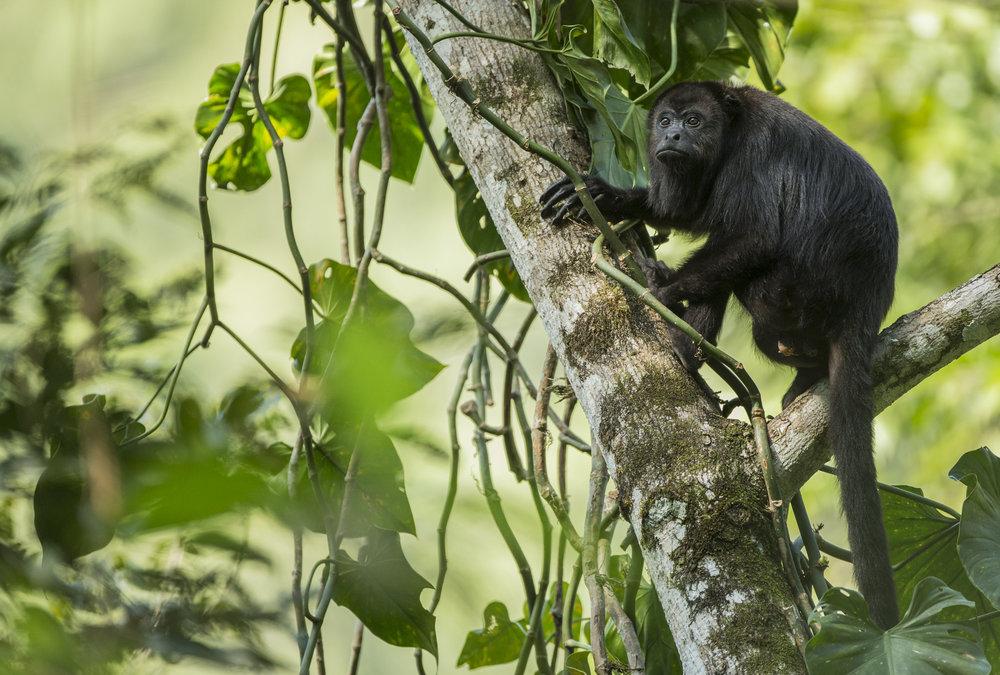 A black howler monkey, Guatemala.