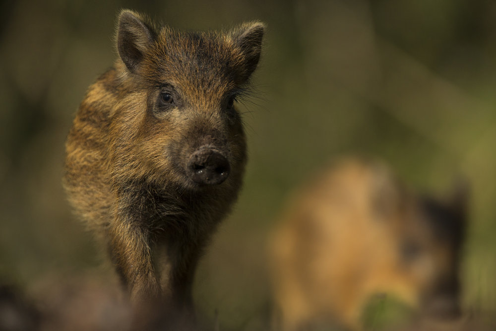 A wild boar piglet in the Forest of Dean