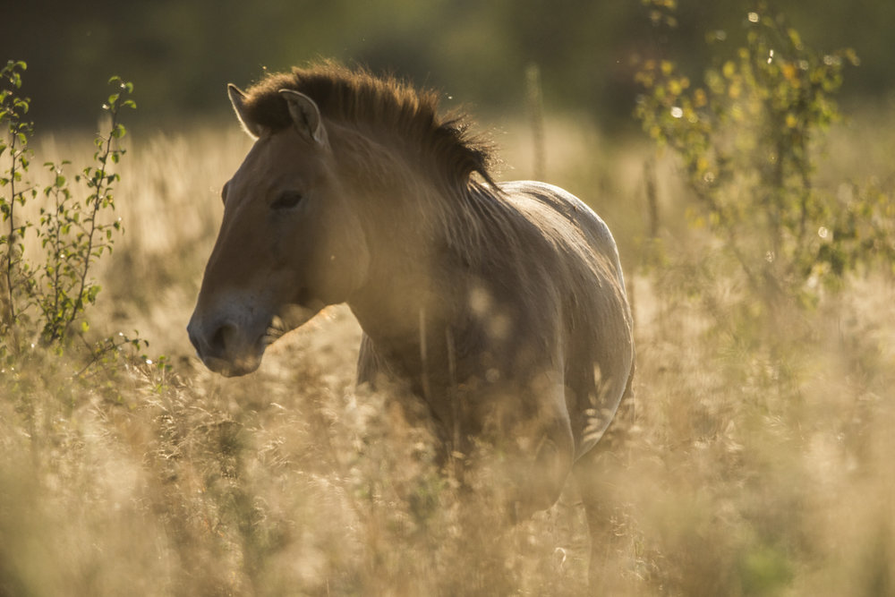 A Przwelaski's horse.