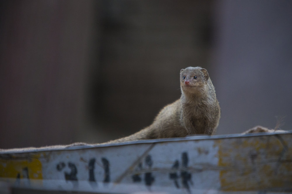 An Indian grey mongoose in central Delhi.