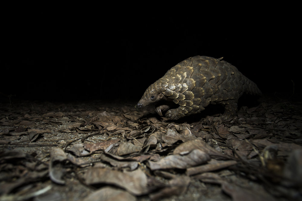 A Temminck's pangolin