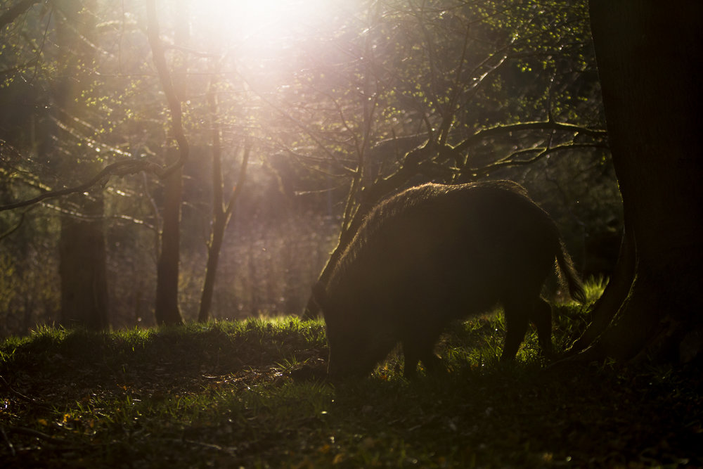 A wild boar foraging, Forest of Dean.