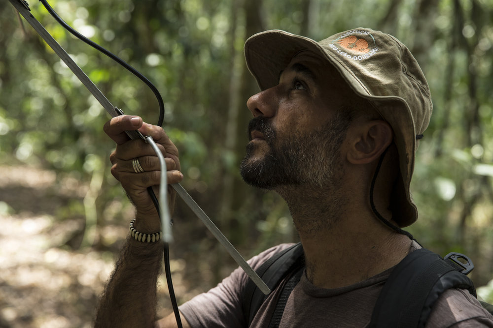 Some GLTs wear radio collars so researchers can track them through the dense forest.