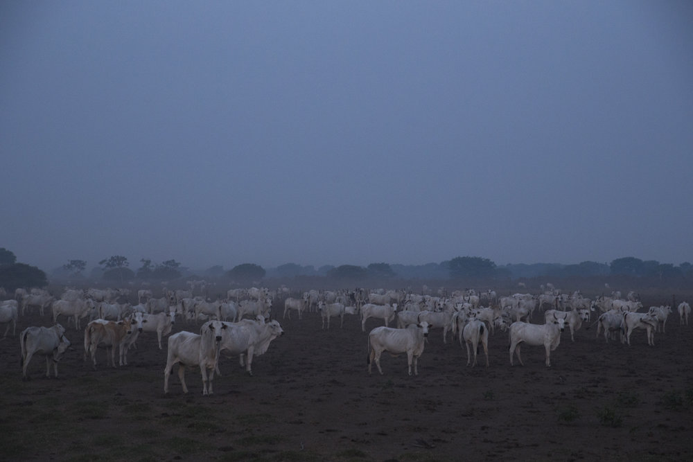 Hundreds of cattle wait at dusk, shrouded by smoke from nearby fires.