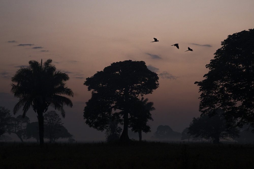 Hyacinth macaws fly by at dawn.