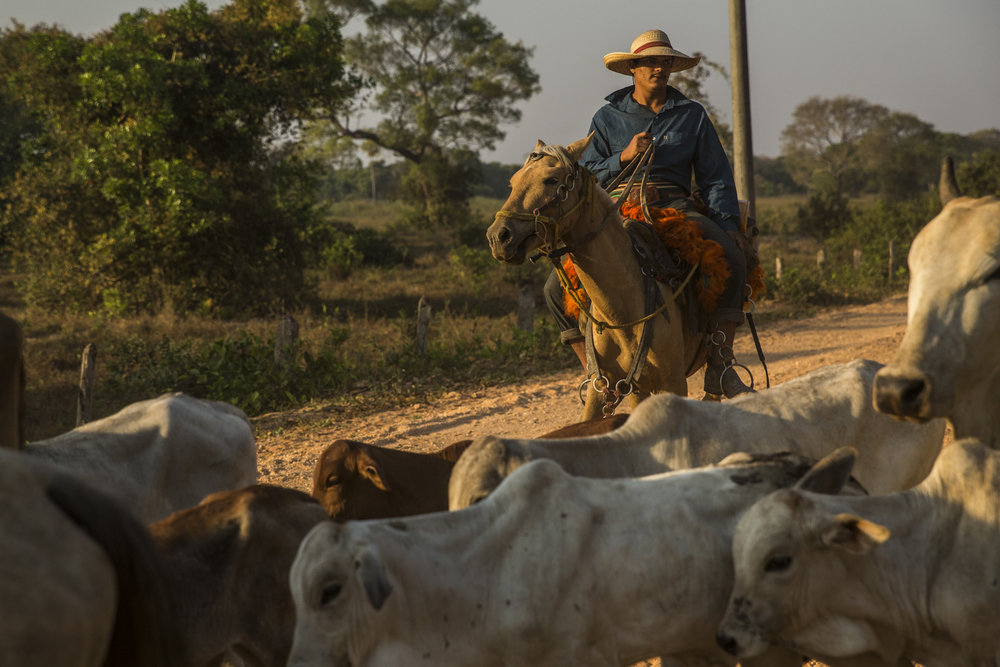 A vaquero (cowboy) herds cattle along the Transpantaneira road, the road that bisects the Pantanal.