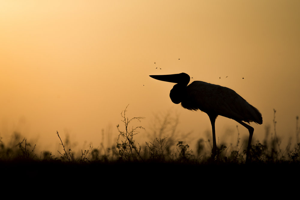 A jabiru stork stalks the riverbank at dusk.