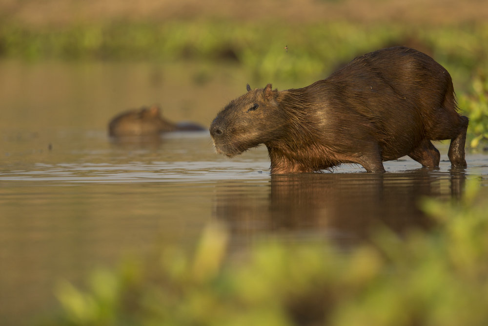 A capybara enters the waters of the Rio Piquiri.