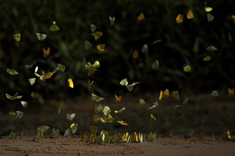Butterflies 'puddle' in the Pantanal.