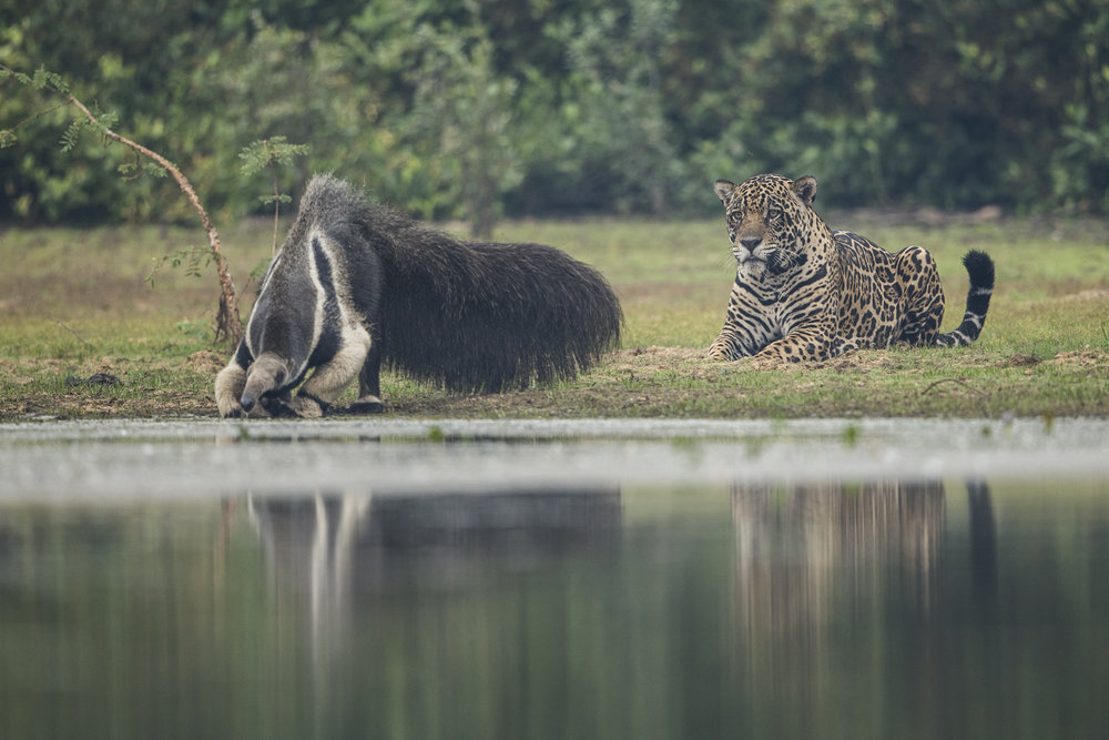 A crazy encounter. A male jaguar watches a giant anteater drink.