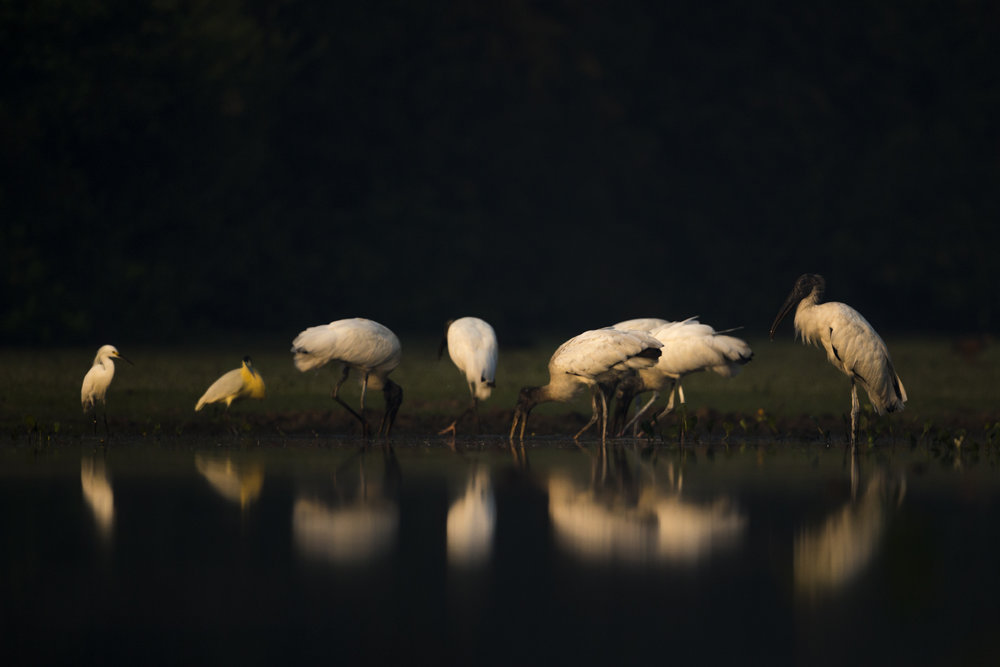 Storks fish together in the Pantanal.