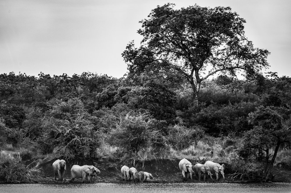An elephant herd drink and bathe on the banks of the Kafue river.