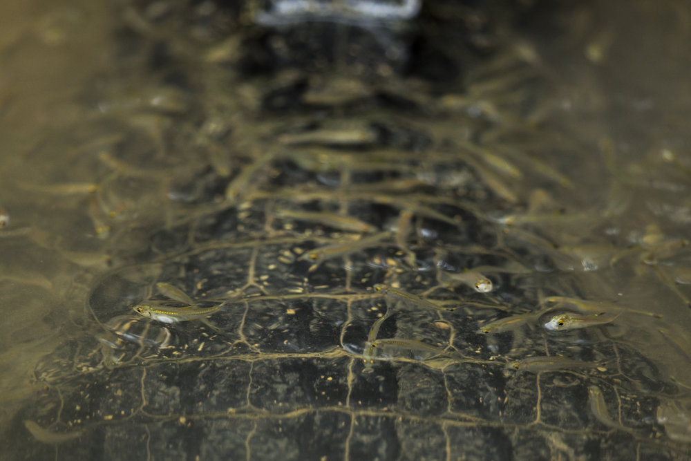 Fish shoal around a Yacare Caiman.