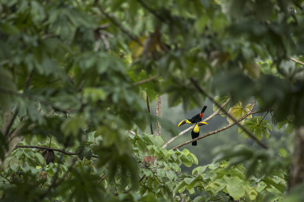 Toucans call out in the Panamanian forest.