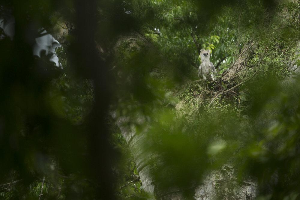 A juvenile harpy eagle in Panama.