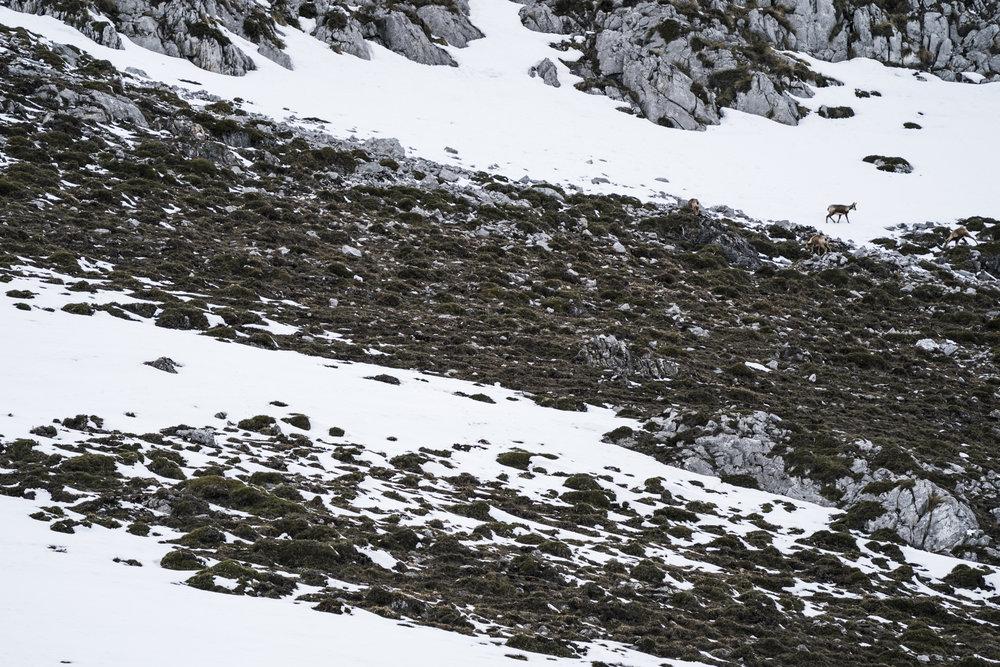 Chamois graze on the lichen covered scree.