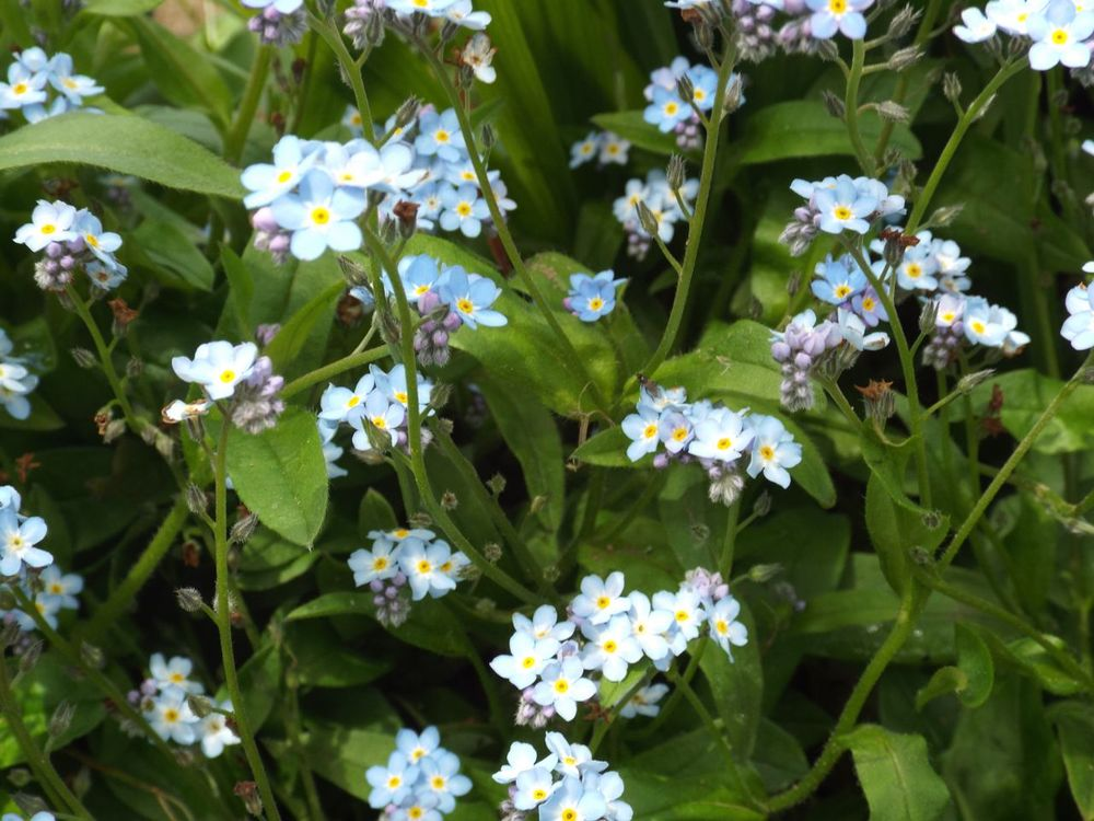 Spring Forget-me-not flowers found on my own walk along Yorkshire's River Aire.