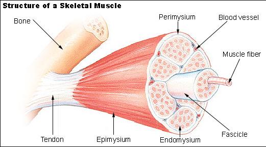 myofascia.jpg