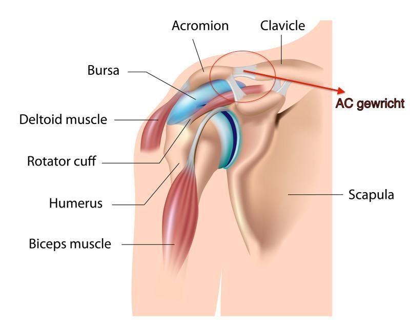 Het schouderdak (Acromium), sleutelbeen (Clavicula) en het AC gewricht in de schouder