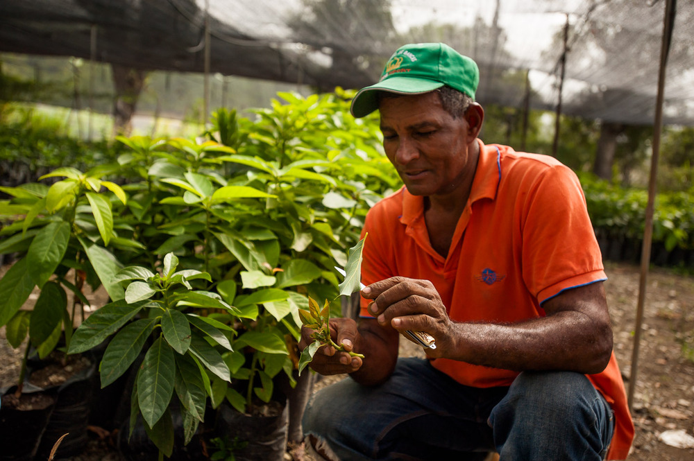 Juan Bautista Peña, reforestation and agriculture specialist, demonstrates splicing of an avocado tree. Fruit trees are planted in and around the villages serving dual purpose: providing locals with food in addition to reforesting the area. Trees grown here will be planted all over the province of San José de Ocoa once they have grown big enough. In Ricon Del Pino, Dominican Republic on July 7, 2014.  Copyright © 2014 Art Zaratsyan