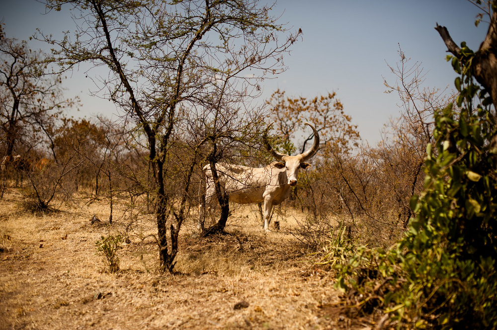 Livestock looks malnourished and dehydrated in Koshale, Ethiopia on January 23, 2014.  Copyright © 2014 Art Zaratsyan