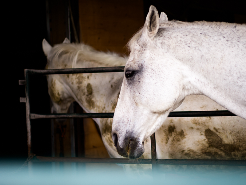 Horses rest in the stables at Southlands Heritage Farm, Vancouver, BC, Canada on September 29, 2013. Photo: Art Zaratsyan