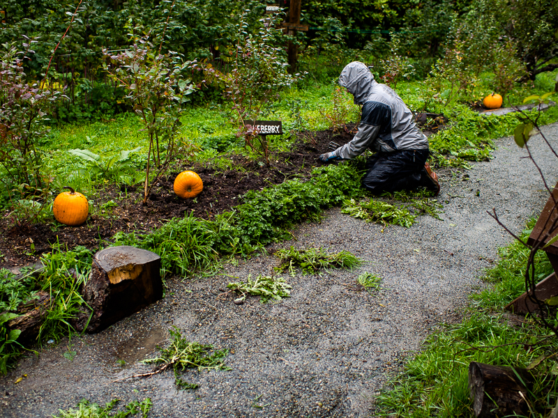 Geoff Manton, a Dozē volunteer, clears the weeds off the blueberry patch in the rain, at Southlands Heritage Farm, Vancouver, BC, Canada on September 29, 2013. Photo: Art Zaratsyan