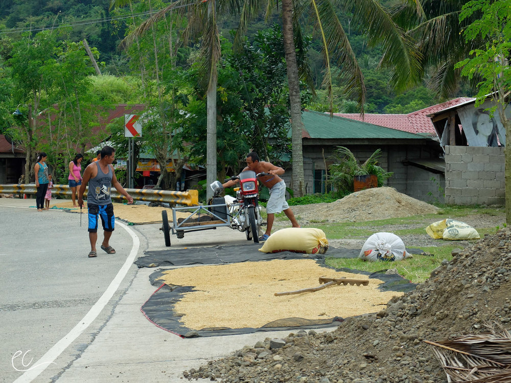 The rice drying on the side of the road is periodically raked to expedite the drying process.