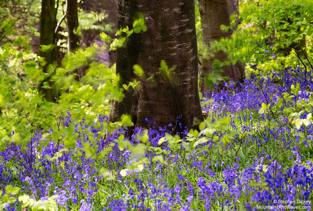 Portglenone Bluebells, County Antrim, Northern Ireland