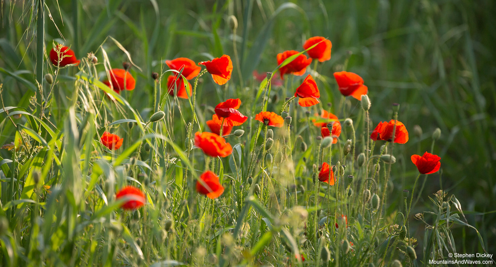 Cyprus Poppies