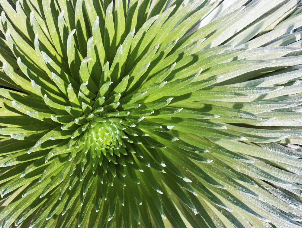 THE NATURAL WORLD: The hearty 'āhinahina, or silversword, in young pre-bloom form - Haleakala National Park, Hawaii