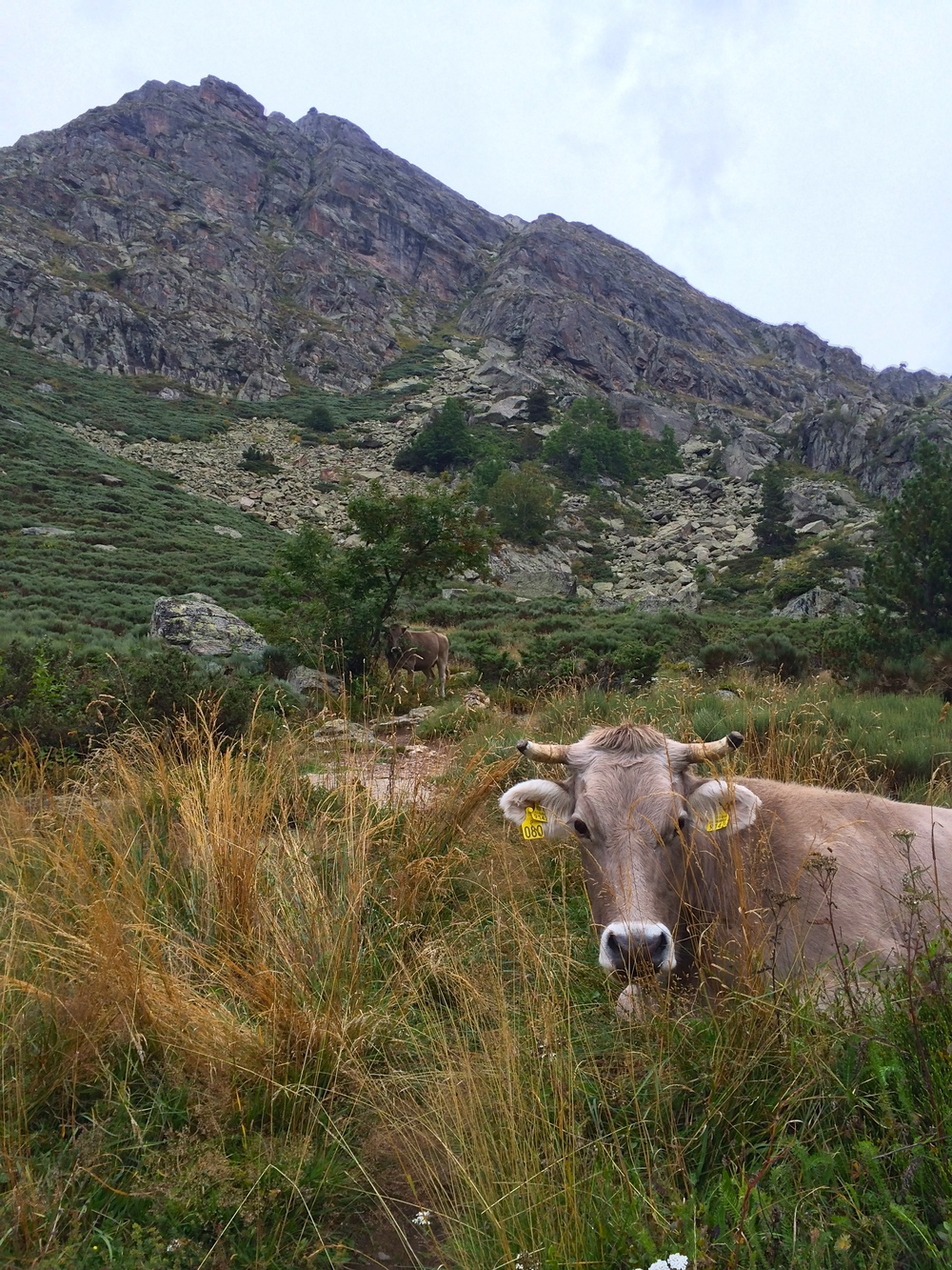 You can't miss these fluffy mountain cows in Andorra.  They seem to roam from the highest mountain peaks down all the way to the city streets, and wear bells filling the valleys with music as they walk.