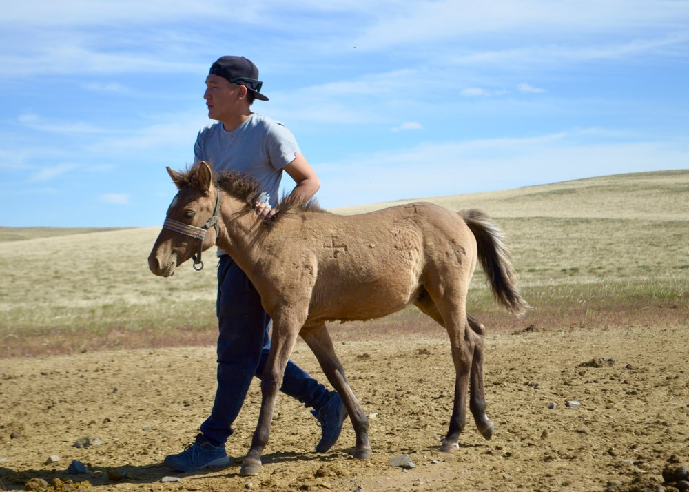 Ishva, our driver, taking a foal to its mother