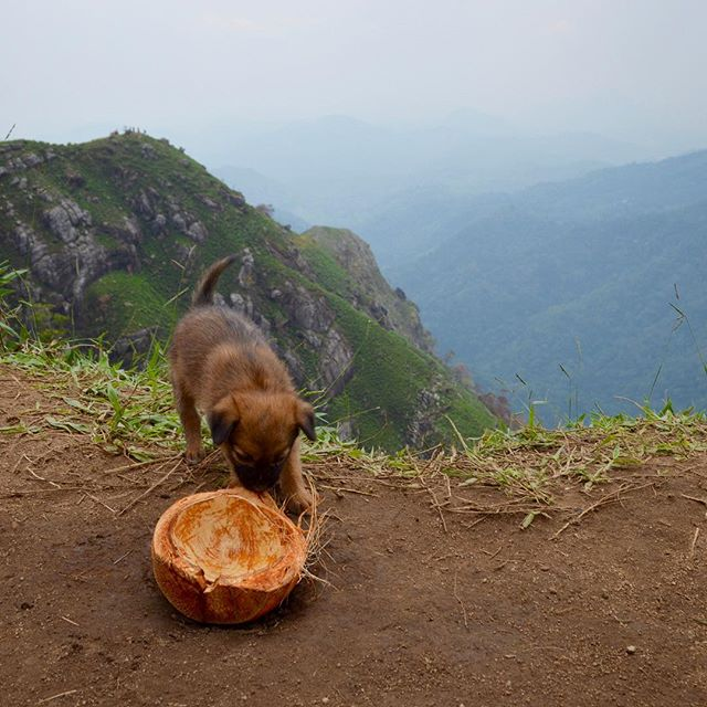 We found this sweet little puppy on top of a hill in Ella, Sri Lanka. 🐶🌰💧Someone had given him some water to drink out of this coconut, but he was far more interested in playing with the coconut than drinking the water.