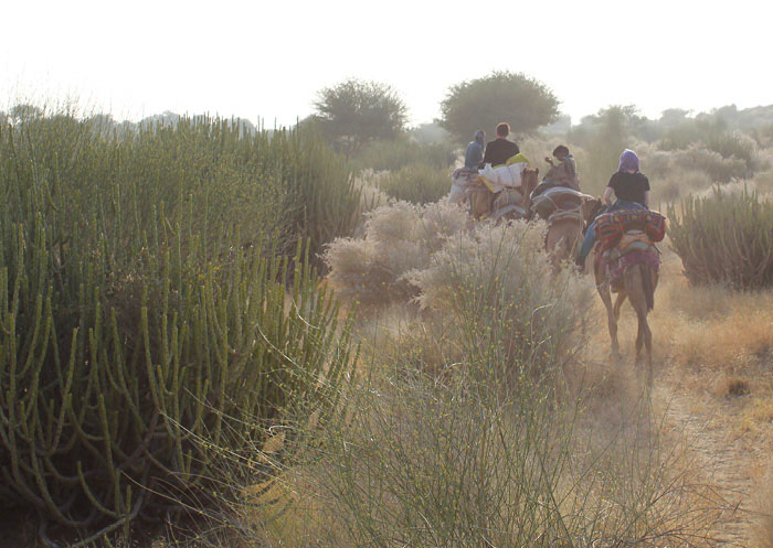 Camels weaving their way through the foliage of the Thar Desert © Claire Orrell 2015