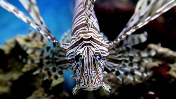 The intricate coloring and patterns of the lionfish make them a very popular aquarium fish. Photo by Erin Spencer
