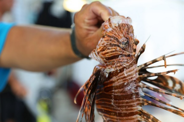 This lionfish's spines have been exposed by the retracted sheath. Photo by Erin Spencer.
