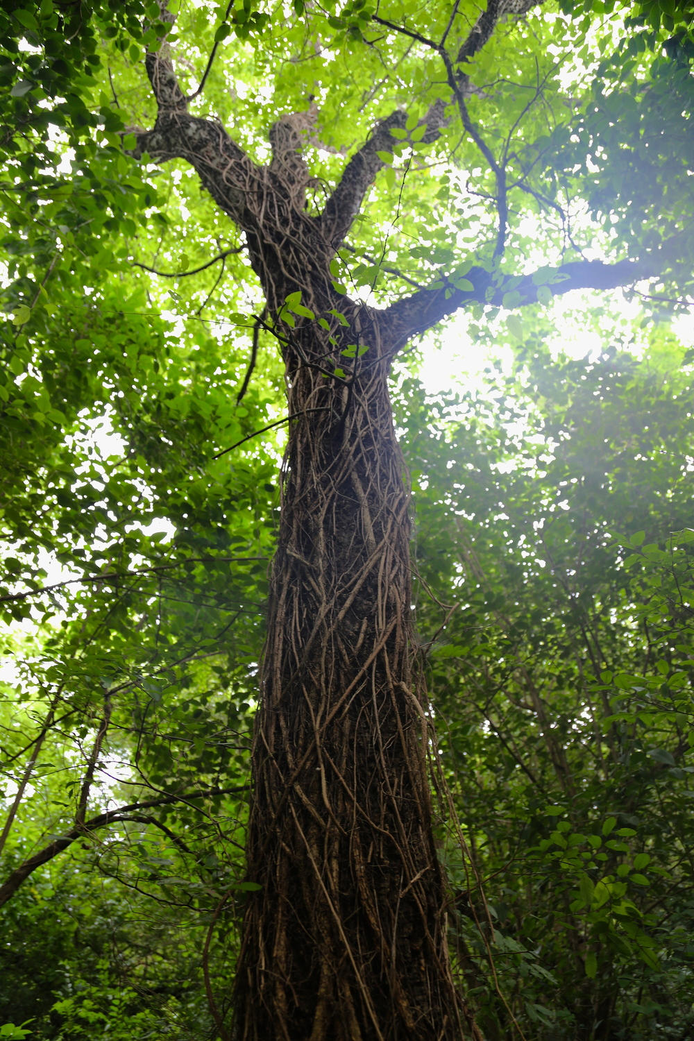 Invasive Cat's claw vine snakes up a native tree. It gets its name from three-pronged climbing spikes that resemble a cat's paw.