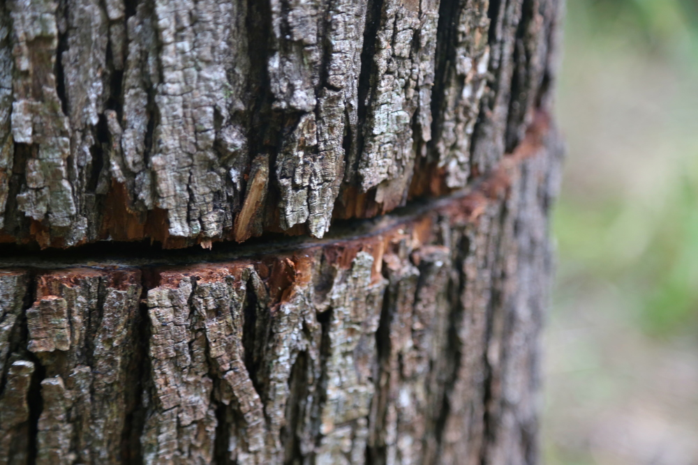 To kill this invasive tree,  Howard Homan made a small cut in the tree's side that he injected with herbicide. When the tree begins to die and becomes a fall risk, a team will return to remove it.