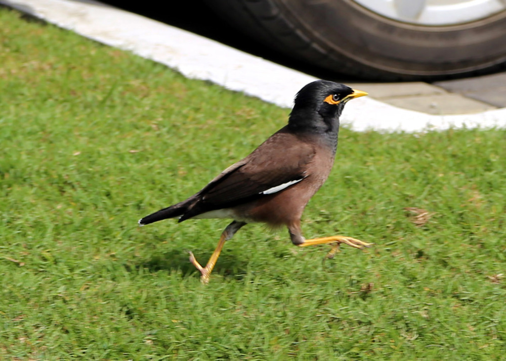 A common myna in Suva, Fiji. Not pictured: Me crawling around in a parking lot trying to get this photo.