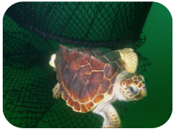 Wildlife Facts: Loggerhead Turtles