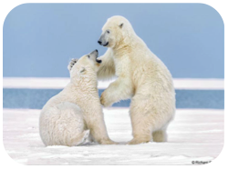 Wildlife Facts: Polar Bears