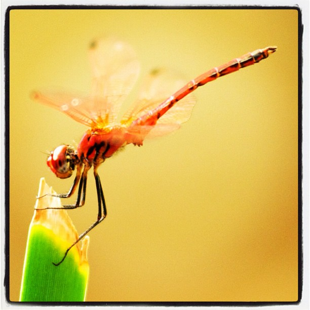 Dragonfly, Morocco.  www.soperimages.com  #dragonfly #wildlife #animals #nature #photography