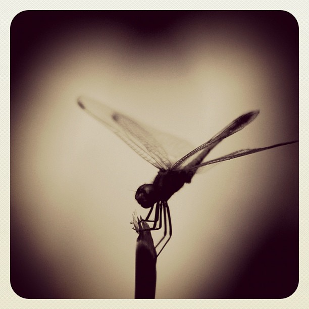#dragonfly #heart  www.soperimages.com