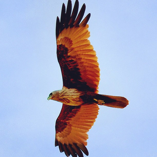 Eagle, Cambodia. #bird #nature #wildlife #eagle #cambodia  www.soperimages.com