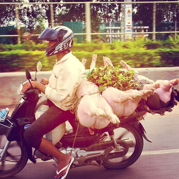 Pigs on a Bike, Cambodia. #pig #pigs #meat #moped #motorbike #road #transport  www.soperimages.com