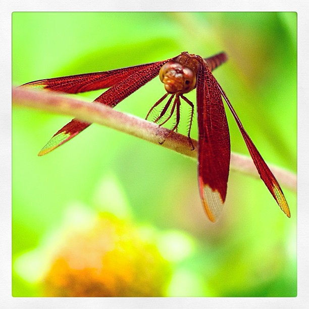 Photo of dragonfly at Butterfly Sanctuary, Cambodia. #dragonfly #wildlife #insect