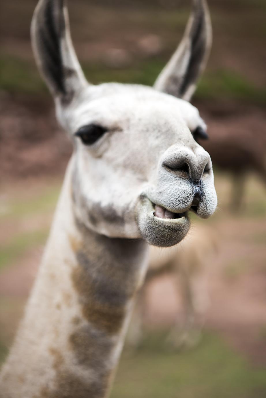 Awana Kancha alpaca farm.jpg